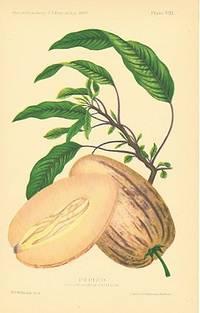 Pepino.  Solanum Guatamalense. (melon shrub)