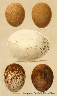 Eggs of Iceland Falcon, Greenland Falcon, Griffon Falcon, Egyptian Vulture Eggs
