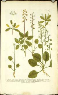 Pyrola arbutifolia frutescens