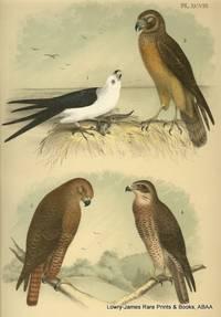 Plate XCVIII Swallow-tailed Kite, Marsh Hawk, Western Red-tailed Hawk, Swainson\'s Hawk