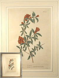 Elizabeth Blackwell Botanical Print Of Pomegranates (Granata punica mala), From A Curious Herbal, 1737