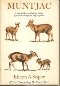 Muntjac.  A Study of these small elusive Asiatic deer which have Colonized an English garden