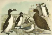 Plate LXXV Great Auk, Common or Foolish Murre, Giant Petrel, Common Puffin, Tufted Puffins, Fulmar, Petrel, Stormy Petrel [endangered]