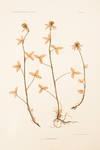 View Image 2 of 2 for Trifolium ochroleucum Inventory #11779