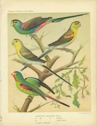 Beautiful Parrakeet, Swift Lorikeet.  Chromolithograph