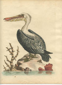 The Pelican of America.