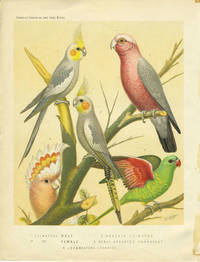 Cockateel, Roseate Cockatoo, Scaly Breasted Parrakeet, Leadbeaters Cockatoo.  Chromolithograph