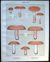View Image 1 of 2 for Original Color Lithograph Plate 54 Russula Roseipes & Russula Ochrophylla Inventory #26101