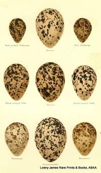 Eggs of Red-necked Phalarope, Avocet, Grey Phalarope, Black-winged Stilt, Turnstone, Oystercatcher Eggs