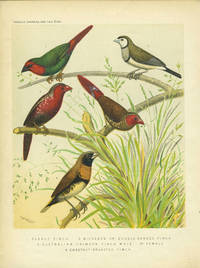 Parrot Finch, Double Banded Finch, Australian Crimson Finch, Chestut-breasted Finch