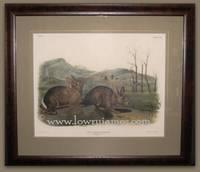Plate CVIII Bachman\'s Hare. Lepus Bachmani, Waterhouse  (natural size)