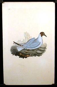 Larus Ridibundus. Brown - Headed Gull