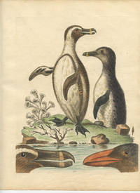The Black-Footed Penguins.