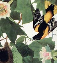 Baltimore Oriole. From The Birds of America (Amsterdam Edition)
