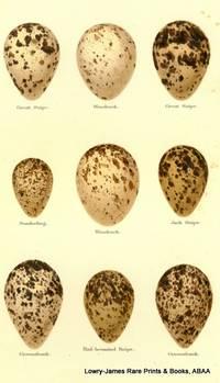 Eggs of Great Snipe, Woodcock, Sanderling, Jack Snipe, Greenshank, Red-breasted Snipe Eggs