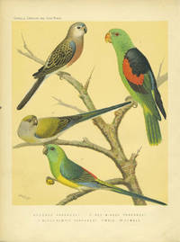 Bourke's Parrakeet, Red-winged Parrakeet, Blood rumped Parrakeet.  Chromolithograph
