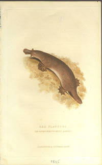 image of Red platypus, Ornithorhynchus rufus.  Color engraving