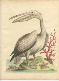 The Pelican.