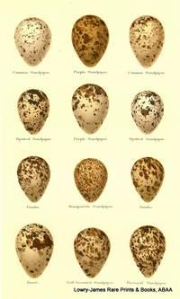 Eggs of Common Sandpiper, Purple Sandpiper, Spotted Sandpiper, Dunlin, Bonaparte's Sandpiper, Knott, Buff-breasted Sandpiper, Pectoral Sandpiper