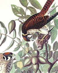 American Sparrow Hawk. From The Birds of America (Amsterdam Edition)