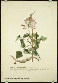 Corallodendron triphyllum Americanum non spinosum, foliis magis acuminatis, flore pallide rubente