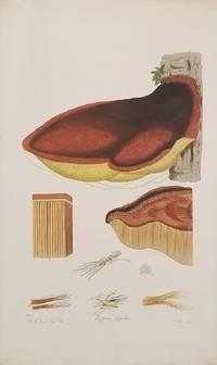Polyporus Hispidus.  Hispid Polyporus.