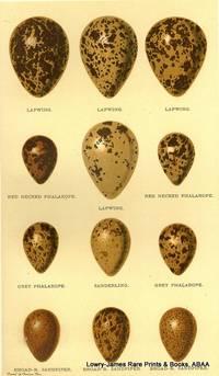 Eggs of Lapwing, Red-necked Phalarope, Grey Phalarope, Sanderling, Broad-b. Sandpiper