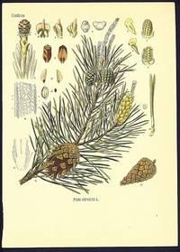 Pinus silvestris L