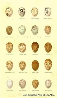 Eggs of Cirl Bunting, Yellow Bunting, Rustic Bunting, Black-headed Bunting, Wood Lark, Crested Lark, Sky Lark, White-winged Lark, Short-toed Lark, Calandra Lark, Pid Wagtail, White Wagtail Eggs