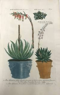 Aloe perfoliata humilis, Aloe, Alo pumila; N. 73