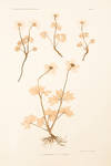 View Image 2 of 2 for Anemone baldensis; A. sylvestris Inventory #11535