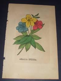 image of Azalia Indica Original  Hand Colored Botanical Engraving