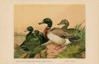 BLACK EAST INDIAN, OR BUENOS AYRES DUCKS.  ROUEN DUCKS. by  Harrison (illus) TEGETMEIER -- COLOR WOOD-ENGRAVINGS) Weir - Ca. 1870. - from oldimprints.com and Biblio.com
