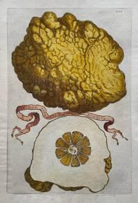 Limon Sponginus Calabriae Rugosus