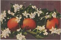 California's Golden fruit, Oranges and Blossoms, unused linen Postcard
