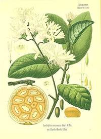 Landolphia comorensis (Boy.) K. Sch.  var. florida (Benth.) K. Sch