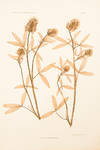 View Image 2 of 2 for Trifolium pannonicum Inventory #11777
