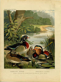 Carolina Ducks.  Mandarin Ducks.  Being Portraits of Mr. Leno's Celebrated Prize Pens. by CASSELL'S CHROMOLITHOGRAPHS) -  1890. - from oldimprints.com and Biblio.com