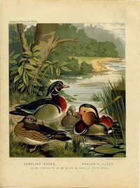Carolina Ducks.  Mandarin Ducks.  Being Portraits of Mr. Leno's Celebrated Prize Pens