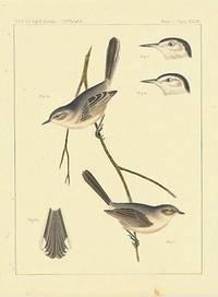 Psaltriparus Plumbeus / Polioptila Plumbua.