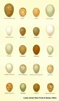 Eggs of Black-throated Ouzel, Robin, Rock Thrush, Black Redstart, Bluethroat, Dipper, Nightingale, Redstart Eggs