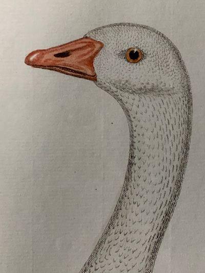 , . Fine. Frisch (Artist), Johann L.. Bird Engraving. Hand-colored Goose. Plate 157. Gans. Anfer. : ...