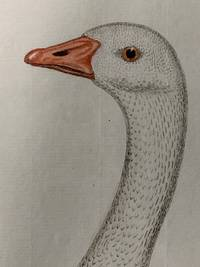 Bird Engraving. Hand-colored Goose. Plate 157. Gans. Anfer