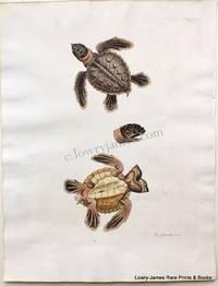 Pl 206 The Sea-tortoise