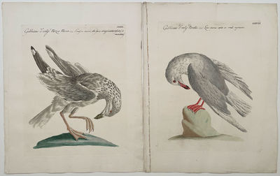 [GROUP OF TWO ENGRAVINGS] Gabbiano d:...