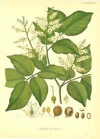 Copaifera officinalis L