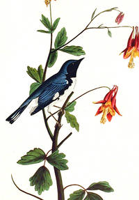Black-throated Blue Warbler. From The Birds of America (Amsterdam Edition)