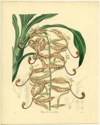 Cycnoches maculata.