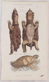 NATURAL HISTORY TESTUDO T. fimbria or fimbriated tortoise T. imbricata or imbricated hawsbill turtle