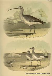 Plate XLVI Long-billed Curlew, Willet, Semipalmated Tattler, White-rumped Sandpiper